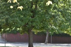 OAK TREE SHALLOW MID GROUND 30